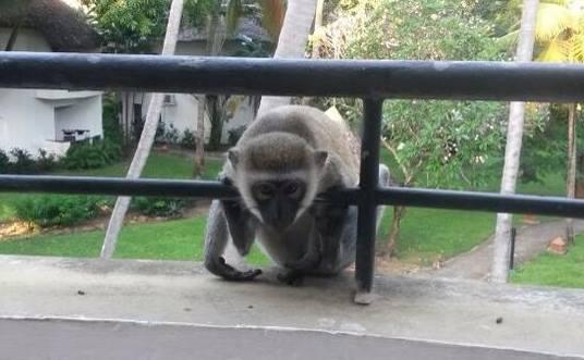 Affen - Tierische Gäste in der Severin Sea Lodge