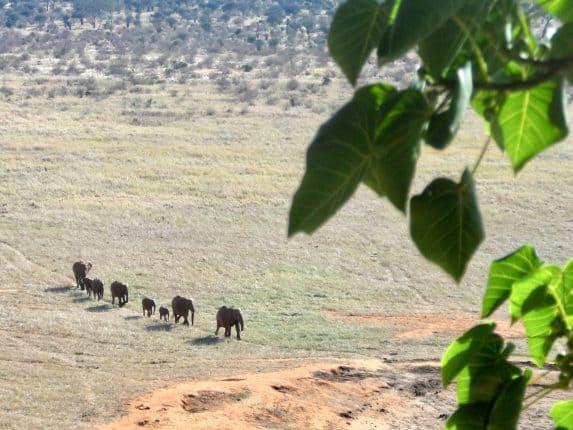 Elefantenherde in Kenia auf dem Weg zum Wasserloch - Frühpatroullie