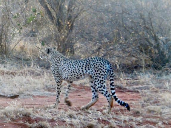 Glückstreffer: Leoparden in Tsavo East