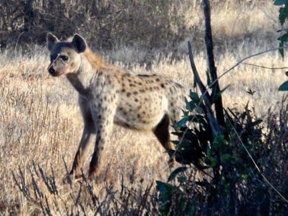 Kenia Safari: Da haben wir die Hyäne doch glatt beim fressen gestört