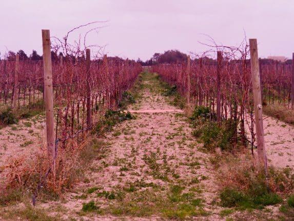 Kulinarisches Sightseeing Malta: Weinreben im Winter auf dem Meridiana Weingut